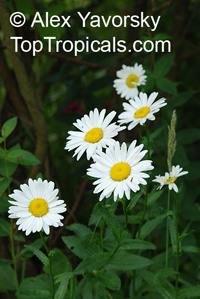 Leucanthemum sp., Field Daisy, Ox Eye, Love-Me-Love-Me-Not, Marguerite, Moon Daisy   Click to see full-size image