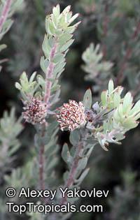 Leucospermum royenifolium, Eastern Pincushion  Click to see full-size image