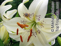 Lilium wallichianum - seeds