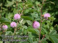 Mimosa albida , Mimosa  Click to see full-size image