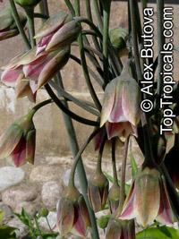 Nectaroscordum siculum, Allium siculum,, Ornamental Onion, Mediterranean Bells  Click to see full-size image