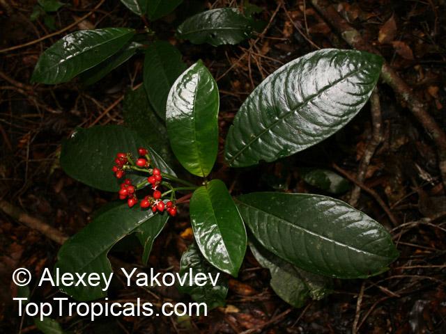 Notopleura uliginosa, Psychotria uliginosa - TopTropicals.com