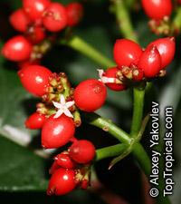 Notopleura uliginosa, Psychotria uliginosa  Click to see full-size image
