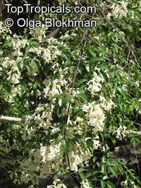 Pandorea pandorana, Spearwood Bush, Wonga Wonga Vine   Click to see full-size image