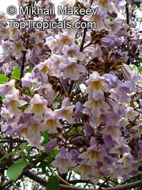 Paulownia tomentosa - seeds  Click to see full-size image