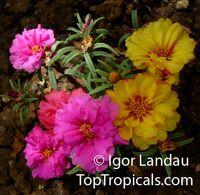 Portulaca grandiflora, Moss rose, Perslane, Purslane  Click to see full-size image