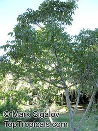 Poupartia borbonica, Bois de Poupart  Click to see full-size image