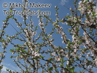 Prunus tomentosa, Nanking Cherry  Click to see full-size image