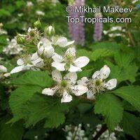 Rubus caesius, Blackberry, Dewberry  Click to see full-size image