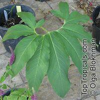 Sauromatum venosum, Typhonium venosum, Arum venosum, Voodoo LilyClick to see full-size image