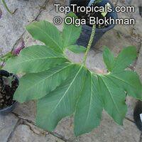 Sauromatum venosum, Typhonium venosum, Arum venosum, Voodoo Lily  Click to see full-size image