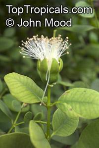 Sonneratia ovata, Gedabu, Mangrove Apple  Click to see full-size image