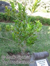 Syzygium contractum, Bois de Pomme, Bois Boeuf  Click to see full-size image