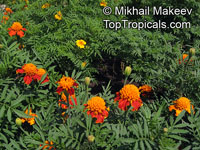 Tagetes sp., Marigold  Click to see full-size image