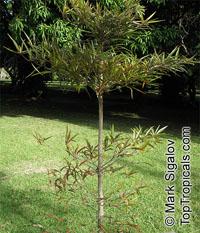 Terminalia bentzoe, Terminalia angustifolia, Benjoin  Click to see full-size image