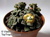 Titanopsis sp., Titanopsis, Living Stone