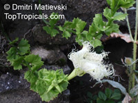 Trichosanthes kirilowii, Snakegourd, Chinese Cucumber  Click to see full-size image
