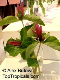 Trillium sp., Trillium, Wakerobin, Tri Flower, Birthroot  Click to see full-size image