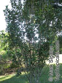 Trochetia parviflora, TrochetiaClick to see full-size image