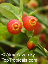 Vaccinium myrtillus, Bilberry  Click to see full-size image