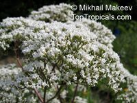 Valeriana officinalis, Valerian  Click to see full-size image