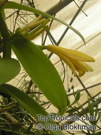 Vanilla planifolia - Bourbon Vanilla Bean, large sizeClick to see full-size image