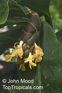 Zingiber pellitum, Ginger  Click to see full-size image