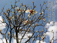 Magnolia cylindrica, Huang-shan Magnolia   Click to see full-size image