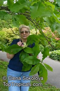 Magnolia tripetala, Umbrella Magnolia, Umbrella-tree  Click to see full-size image