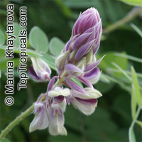 Afgekia mahidolae, Afgekia  Click to see full-size image