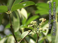 Alstonia angustiloba, Pulai Tree