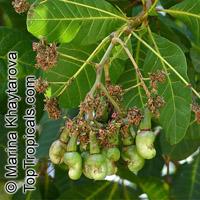 Anacardium occidentale, Cashew Nut, Cashew Apple, CajuClick to see full-size image