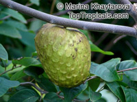Annona cherimola, Cherimoya, Chirimoya, Custard Apple  Click to see full-size image