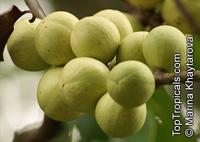 Aphanamixis polystachya, Amoora aphanamixis, Amoora rohituka, Pasak Lingga, Pithraj, Rohitak  Click to see full-size image