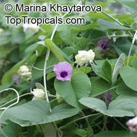 Argyreia nervosa, Argyreia speciosa, Elephant creeper; Woolly Morning Glory, Hawaiian Baby Woodrose  Click to see full-size image