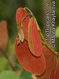 Bauhinia semibifida, Phanera semibifida, Trailing Bauhinia  Click to see full-size image
