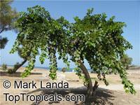 Cordia myxa , Assyrian Plum, Lasura  Click to see full-size image
