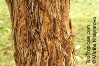 Cratoxylum cochinchinense, Hypericum cochinchinense, Yellow Cow Wood, Kayu Arang, Kemutong, Tree-Avens  Click to see full-size image