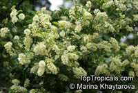 Ebenopsis ebano, Pithecellobium ebano, Texas Ebony, Ebony Blackbead, Apples Earring  Click to see full-size image