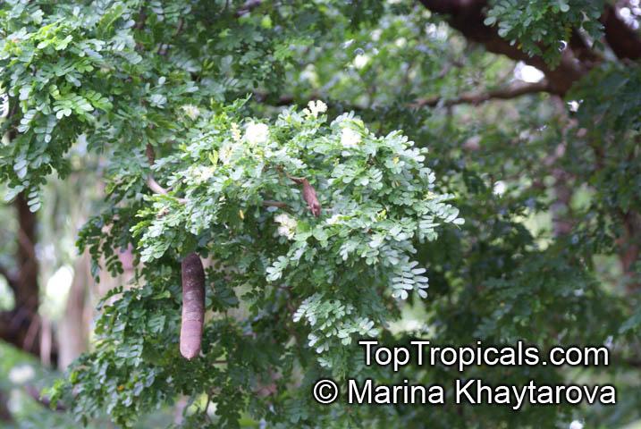 Texas ebony bonsai trees for sale walmart myideasbedroom com