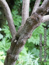 Echium nervosum, Massaroco  Click to see full-size image