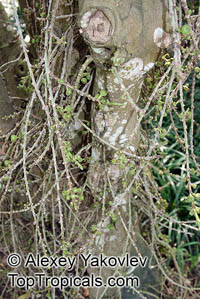 Ficus hispida, Ficus oppositifolia, Hairy Fig  Click to see full-size image