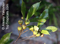 Ficus pyriformis, Bo Li Rong  Click to see full-size image