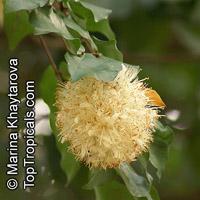 Maniltoa browneoides, Maniltoa gemmipara, Hankerchief Tree, New Guinea Ghost Tree, Manitoa   Click to see full-size image