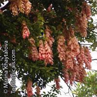 Maniltoa lenticellata, Silk Handkerchief Tree, Cascading Bean, Native Handkerchief Tree  Click to see full-size image