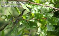 Maniltoa megalocephala, Handkerchief Tree  Click to see full-size image