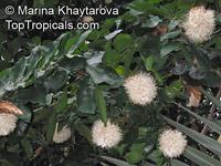Maniltoa grandiflora, Maniltoa schefferi, Maniltoa hollrungii, Dove Tree, Handkerchief Tree, Ghost Tree, New Guinea Ghost Tree  Click to see full-size image