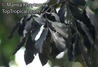 Maniltoa sp., Dove Tree, Handkerchief Tree, Ghost Tree  Click to see full-size image