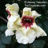 Markhamia stipulata, Spathodea stipulata, Khae  Click to see full-size image