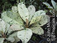 Plumeria sp., PlumeriaClick to see full-size image